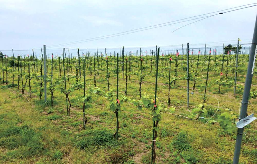 """地域のために大胆なイメージ転換。 ブドウ畑と青い海。 新しい""""富岡""""の風景を作りだす。の画像"""